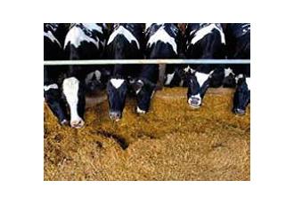 俄罗斯科洛夫斯科地区奶牛养殖基地